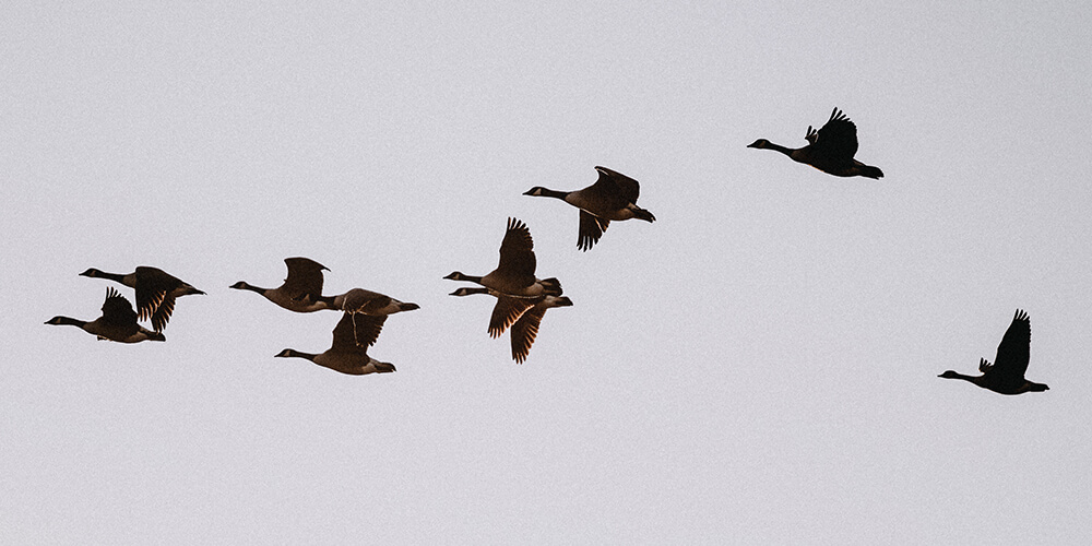 1000x500 canada-geese-flight-darts-farm-devon