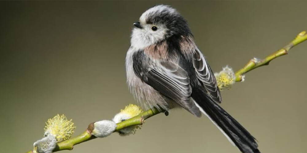 1000x500 spring-long-tailed-tit-rspb-darts-farm-devon
